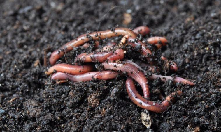 Cacing Tanah juga 'Berjasa'