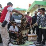Polda Riau berhasil menangkap 4 orang pelaku penjual kulit harimau Sumatera