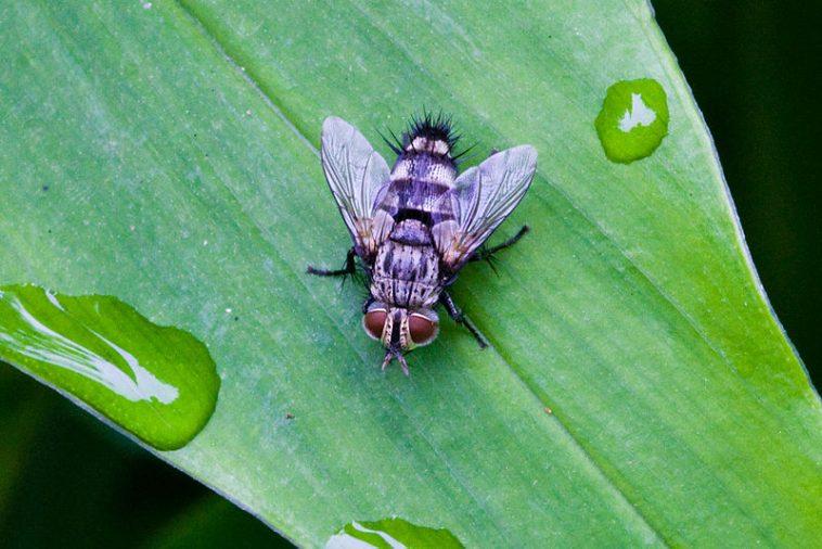 Manfaat Tersembunyi dari Lalat