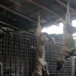 Warga Solo Konsumsi 1.200 Daging Anjing Tiap Hari, Wisata Kuliner yang Tak Dilarang Jokowi